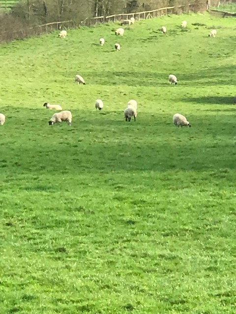 Saw lots of sheep in the English countryside